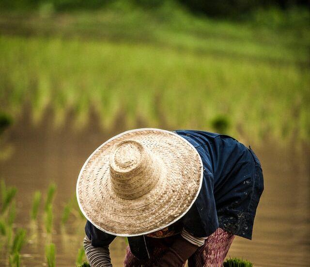 pole, rýža, polnohospodarstvo